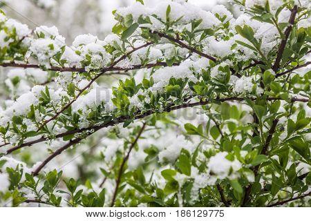 climate change in May in spring snow is fallen Minsk Belarus