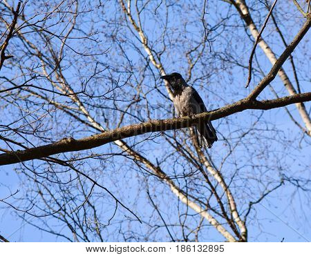 Gray crow sits on a branch without leaves against background of blue sky