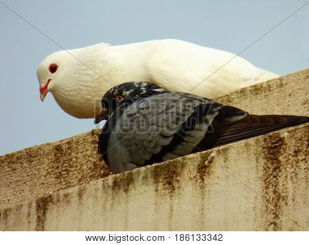 Two pigeons. White and blue-grey pigeons together. Two doves. Birds resting above some concrete surface. Urban area birds. Couple of doves
