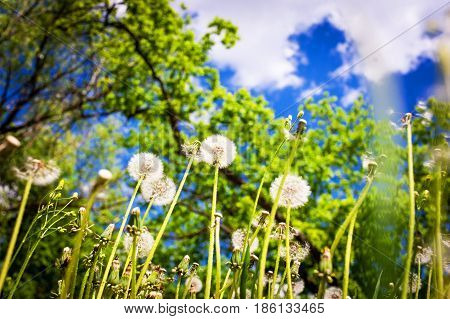 Glade Of Dandelions.