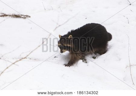 Raccoon (Procyon lotor) walking in Snow in a Forest
