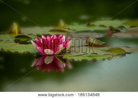 Red Nymphaea Hardy Waterlily in the pond