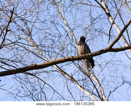 Gray crow sits on a branch without leaves and looks to the side