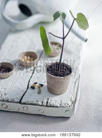Bean Seedling in Fibre Pot on White Rustic Wooden Plank