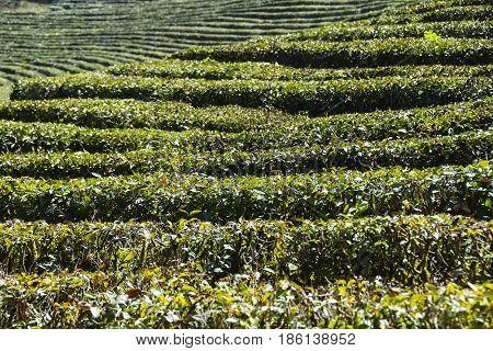 Green Tea Plantation