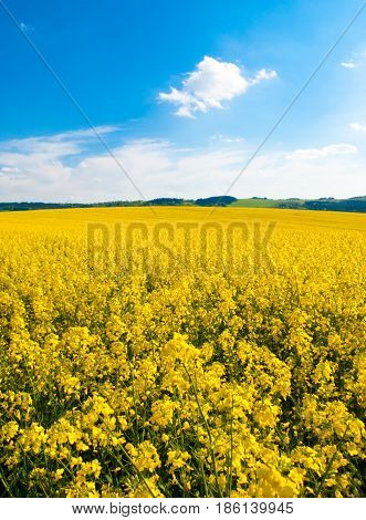 Field of rapeseed, aka canola or colza. Rural landscape with blue sky and white clouds. Spring and green energy theme, Czech Republic, Europe.