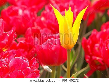 Yellow and red. Lodz, Poland - May 01, 2017 Yellow tulip against the background of red tulips during the flowering in botanical garden in Lodz.