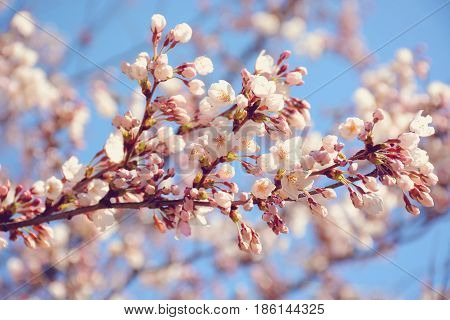 Selective focus on blooming sakura cherry tree branch.