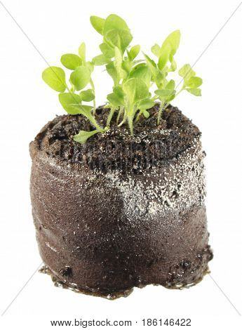 Seedling of common foxglove (Digitalis purpurea) in clod of soil isolated on white background