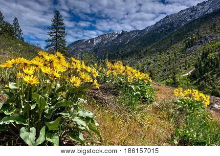 Arnica or balsamroot blooming in alpine meadows. Cascade Mountains. Portland. Oregon. The United States.
