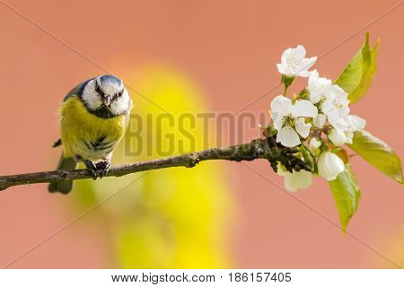 Single Colorful Blue Tit Bird Eats Sunflower Seed