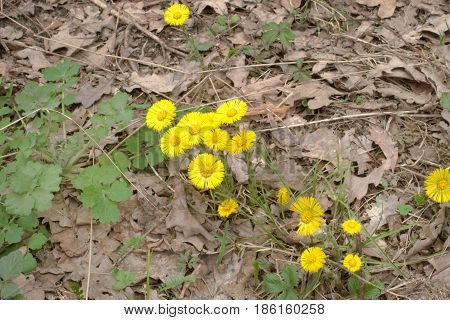 Coltsfoot's Flowers Among Last Year's Withered Oak Leaves