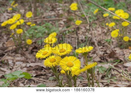 Yellow Flowers Of Coltsfoot On Still Leafless Stalk
