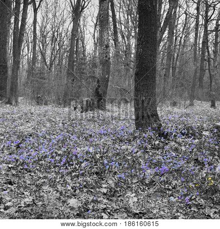 Forest Glade Of Spring Early Flowers. A Carpet Of Scilla Siberian. Squared Photo Frame