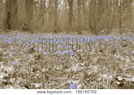 Forest Glade Of Spring First Flowers. A Carpet Of Scilla Siberian. Pale Background