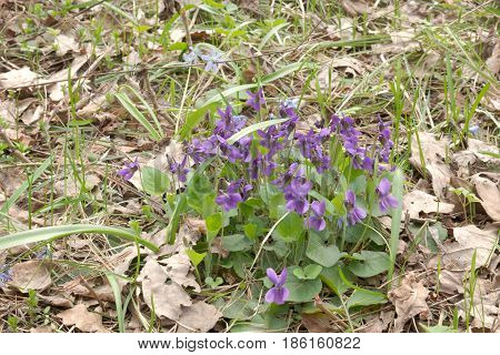 Bush Of Wild Flowers Of The Forest. Purple Viola Plant