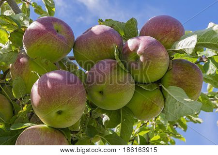 Gala Apples on the tree in an orchard Okanagan Valley near Kelowna British Columbia Canada