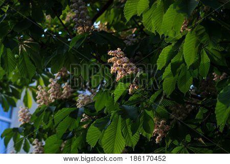 White horse-chestnut, Aesculus carnea, hybrid Aesculus hippocastanum,
