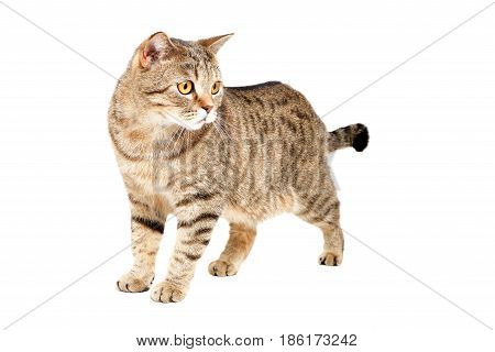 Cat Scottish Straight standing isolated on white background