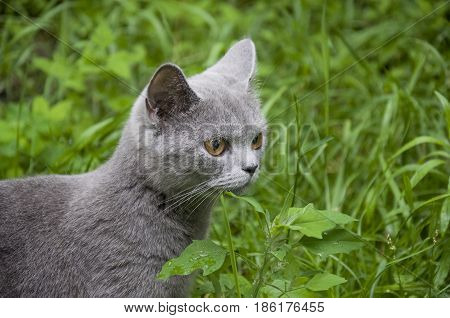 British Shorthair cat is walking outdoor with green grass in summer