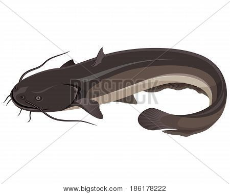 Vector illustration of a big freshwater catfish