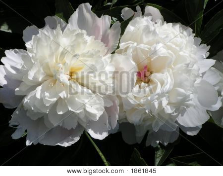 White Flowers Peonies