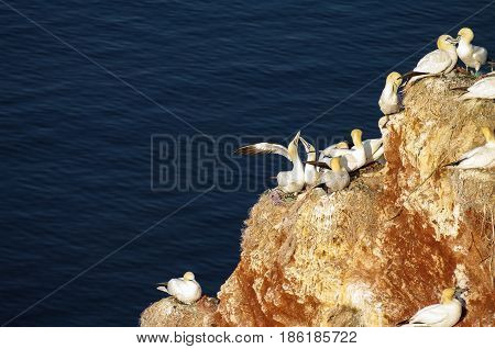 Wild Migrating Gannets At Island Helgoland, Germany