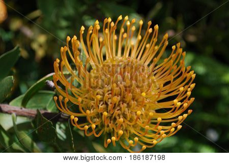 Gorgeous spikey yellow protea flower blossom flowering.
