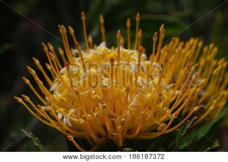Gorgeous yellow protea flower blossom up close.