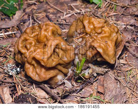 False morel or Gyromitra esculenta spring poisonous mushrooms macro selective focus shallow DOF.