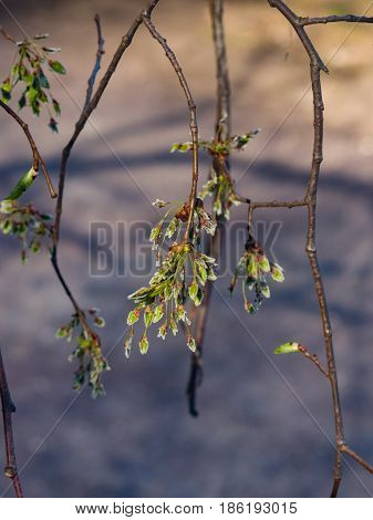 Seeds riping on branch of European white elm or Ulmus laevis close-up selective focus shallow DOF.