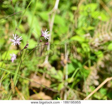 detail of Lychnis flos-cuculi in a meadow