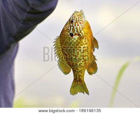 detail of fished Lepomis gibbosus in italy