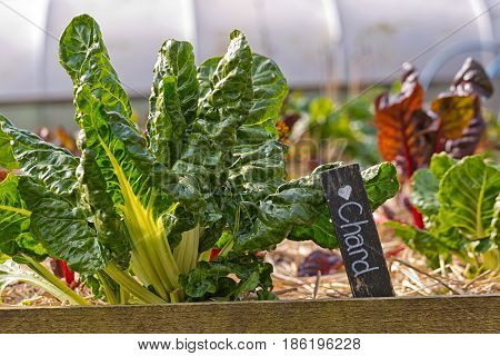 Fresh young green and red lettuce plants on a sunny vegetable garden patch