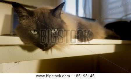 siamese THAI brown cat lay on white table and looking .