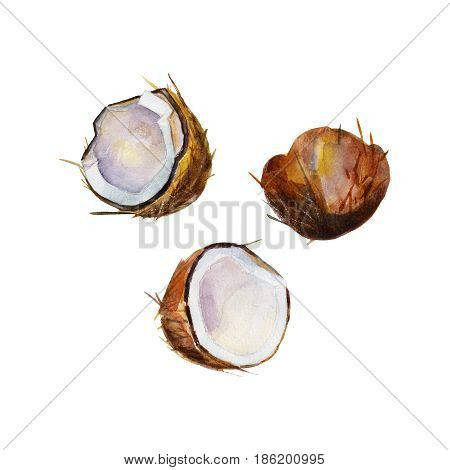 The half coconut in perspective on white background watercolor illustration set in hand-drawn style.
