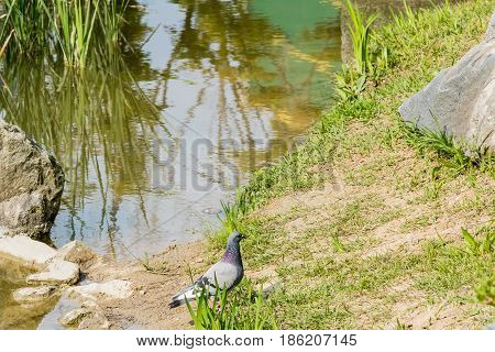 Gray rock pigeon standing on ground near a small pond tall reeds