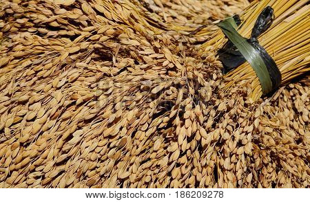 Dried Rice With Plants