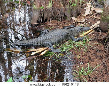 Alligator at Corkscrew Swamp Sanctuary Audubon Naples Florida
