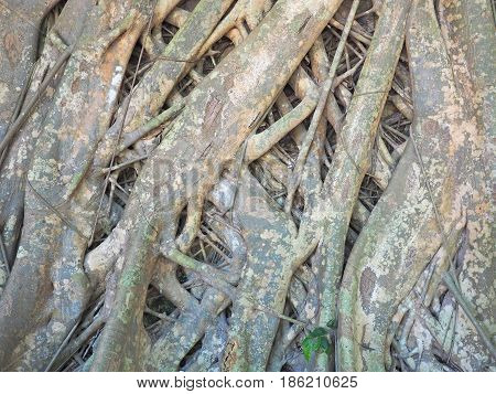 root. fibrous root system of big tree root