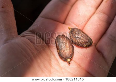 Cocoa Seed Sprouting On Hand Background