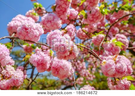 Closeup of cherry blossom in japanese park, Tokyo Downtown. Beautiful pink Sakura flower on blue sky background. Hanami concept, spring, relaxation. The cherry blossom is the national flower of Japan.