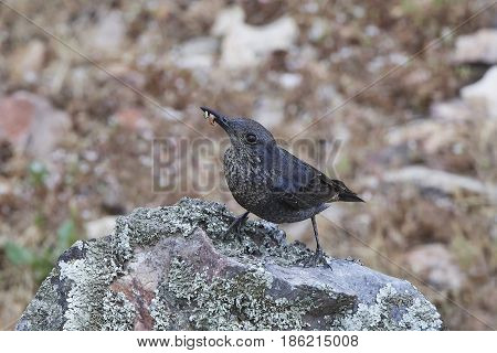 Blue rock thrush sitting on a rock with food in its beak