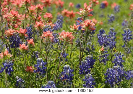 Bluebonnets And Paintbrushes