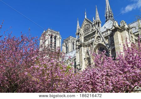 Flowering trees (Judas tree) on the background of Notre Dame Cathedral. A sunny day in early April. Paris France.