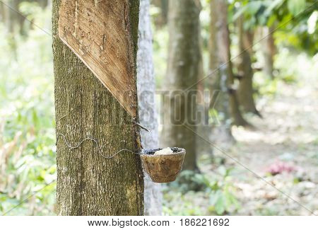 Tapping latex from a rubber tree, row of rubber trees.