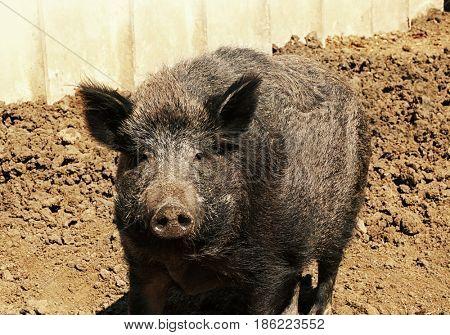Big wild boar enjoying sunny day on farm