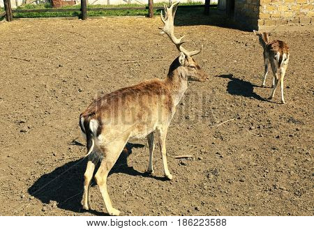 Enclosure with two cute young deer on farm