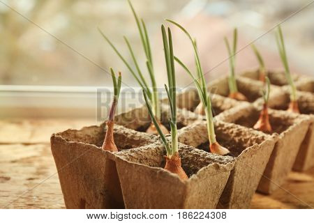 Plant cultivation on wooden window sill, closeup