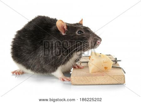 Cute rat and mousetrap with cheese on white background